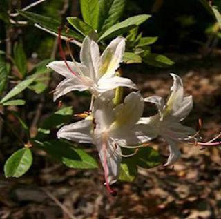 Azalee Running Arboreskens 40-50cm - Rhododendron luteum - Alpenrose