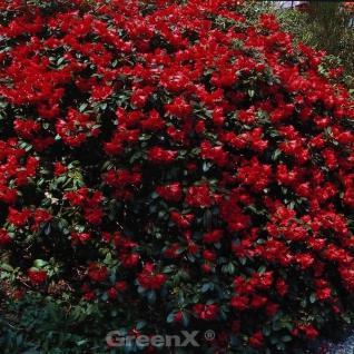 Großblumige Rhododendron Elizabeth 30-40cm - Alpenrose