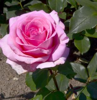 Edelrose Sweet Parole 30-60cm