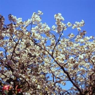 Hochstamm Japanische Blütenkirsche Tai Haku 100-125cm - Prunus serrulata