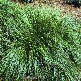 Segge Amazon Mist - Carex comans
