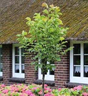Hochstamm Magnolie Galaxy 80-100cm - Magnolia