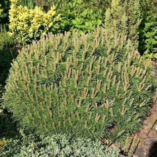 Zwerg Kiefer Moepschen 10-15cm - Pinus mugo