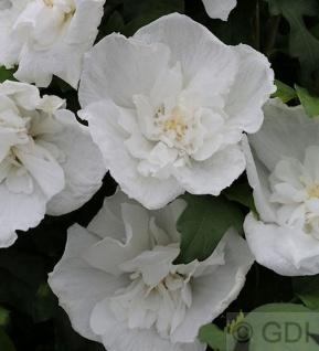 Hochstamm Garteneibisch Diana 80-100cm - Hibiscus
