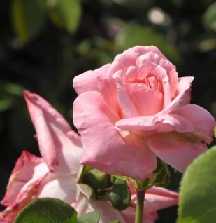 Edelrose Romina 30-60cm