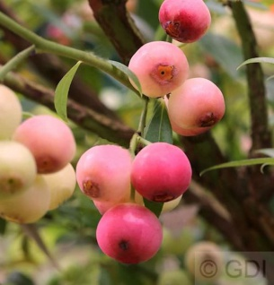 Heidelbeere Pink Lemonade 30-40cm - Vaccinium corymbosum