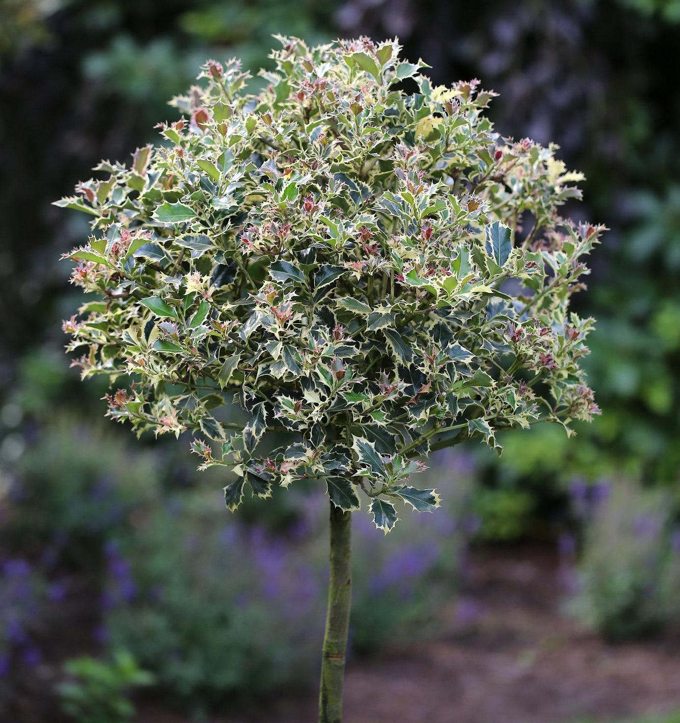 Hochstamm Stechpalme Stechpalme Stechpalme rot Tips 60-80cm - Ilex aquifolium c27b78