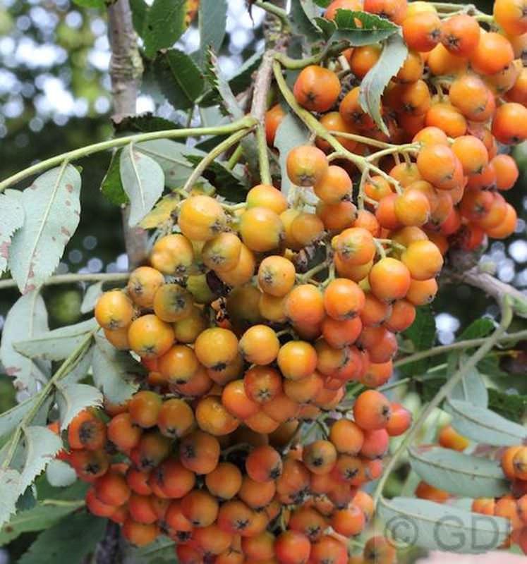Mährische Eberesche Eberesche Eberesche Autumn Spire® 80-100cm - Sorbus aucuparia 7c35cf