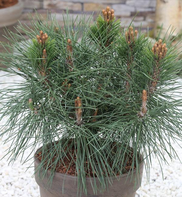 Kugel Kiefer Pierrick Bregeon 60-70cm - Pinus nigra nigra nigra 9611da