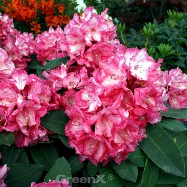 INKARHO Alpenrose Großblumige Rhododendron Friesiane 25-30cm