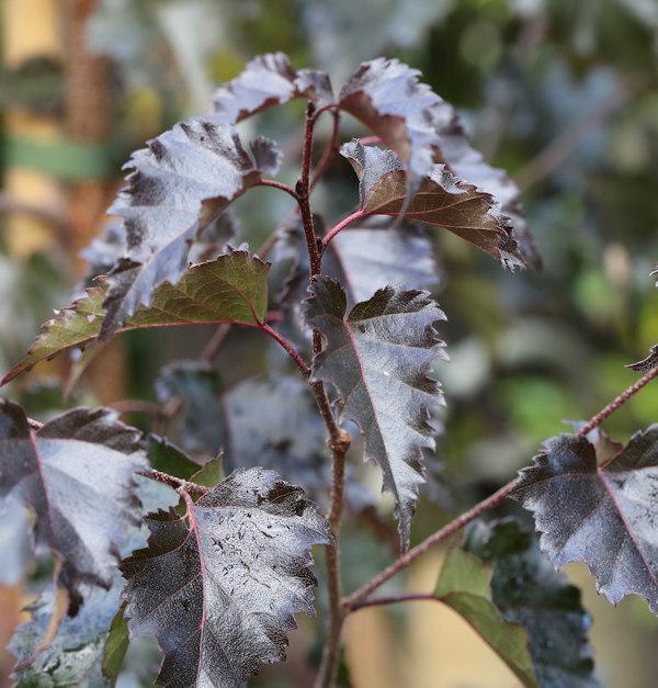 Rotblättrige Hängebirke Royal Frost 80-100cm - Betula Betula Betula pendula 2977b2