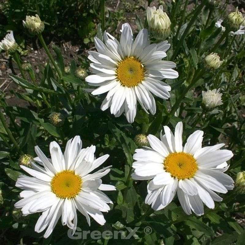 Leucanthemum superbum Gartenmargerite Sonnenschein
