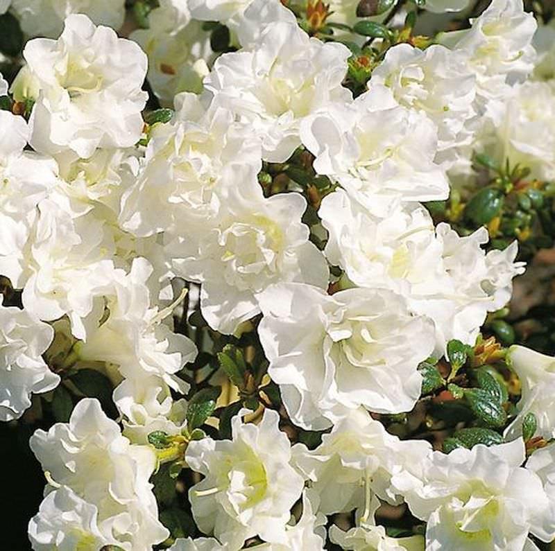 Rhododendron obtusum Zwerg Alpenrose Japanische Azalee Schneeperle/® 15-20cm