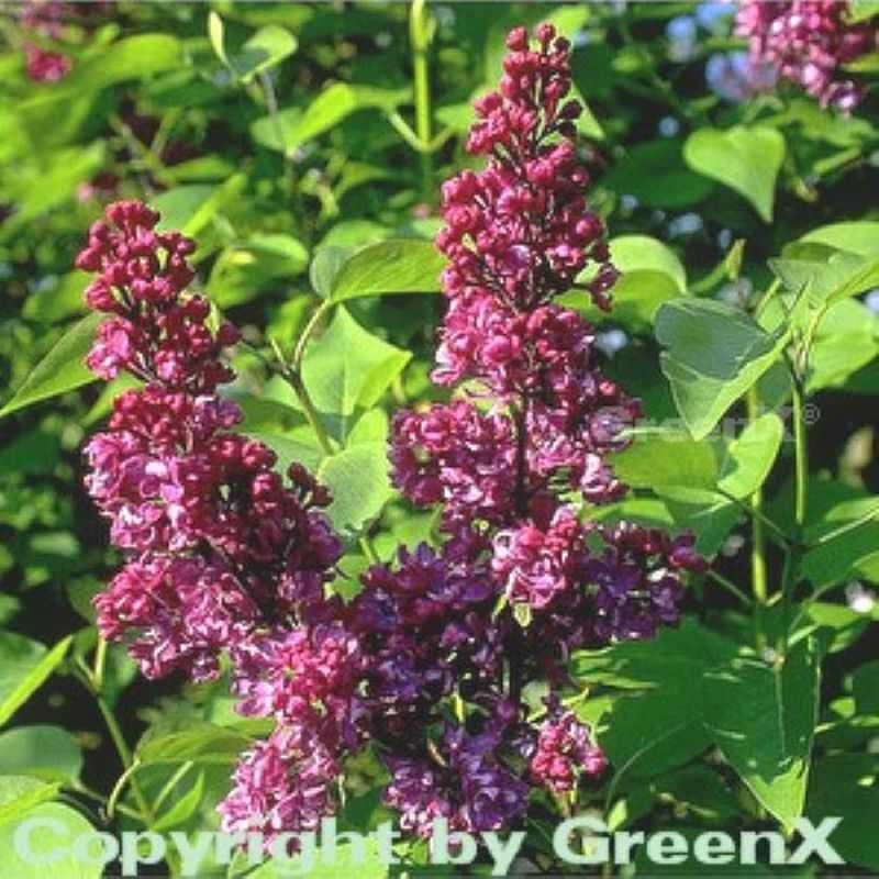 Hochstamm Edelflieder Charles Charles Charles Joly 60-80cm - Syringa vulgaris 60277e