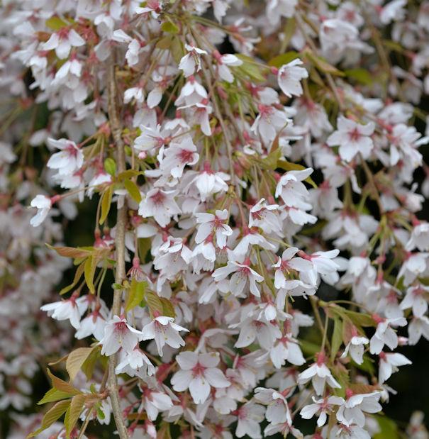 Hochstamm Rosa Winterkirsche 80-100cm Prunus subhirtella