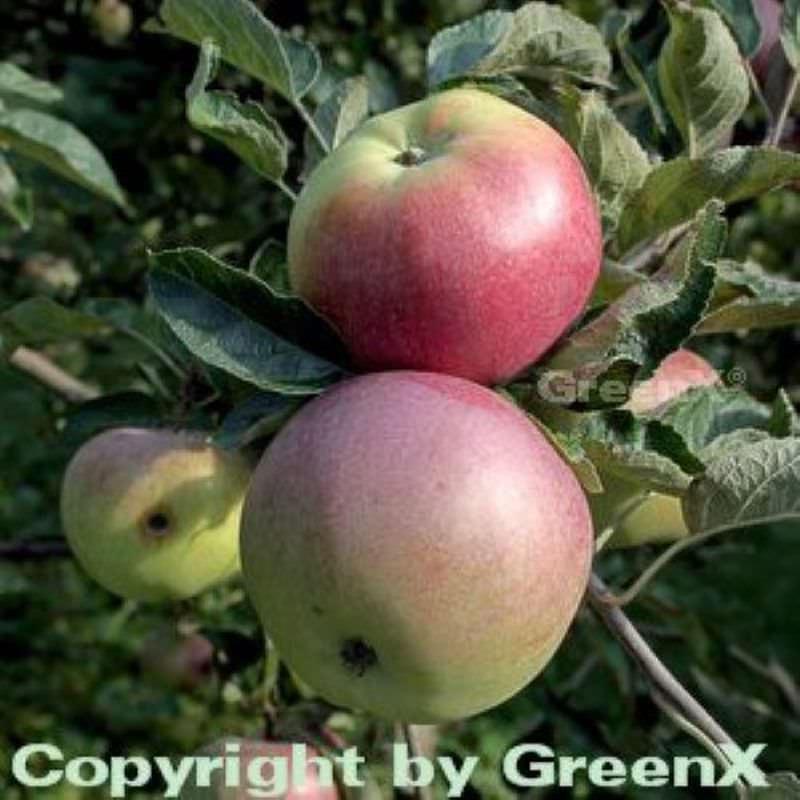 Apfelbaum Ontario Ontario Ontario 60-80cm - ein Lagerapfel 38d860