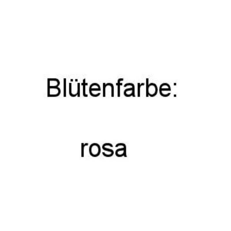 Belgische Azalee Aida 70-80cm - - - Rhododendron rustica a25469