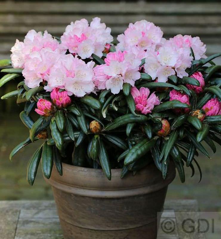 INKARHO - RhododendronMakiyak 40-50cm - - - AlpenRosa 7c2782