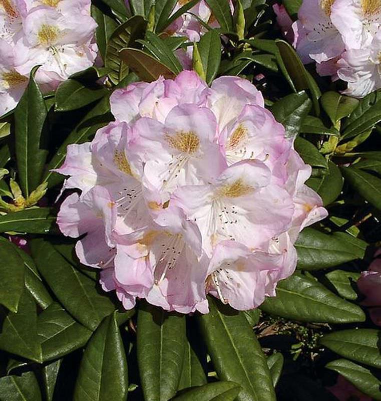 GroßBlaumige Rhododendron Brigitte Brigitte Brigitte 50-60cm - AlpenRosa 3214c6
