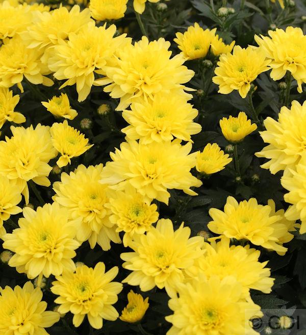Winteraster Bronzekrone Chrysanthemum hortorum