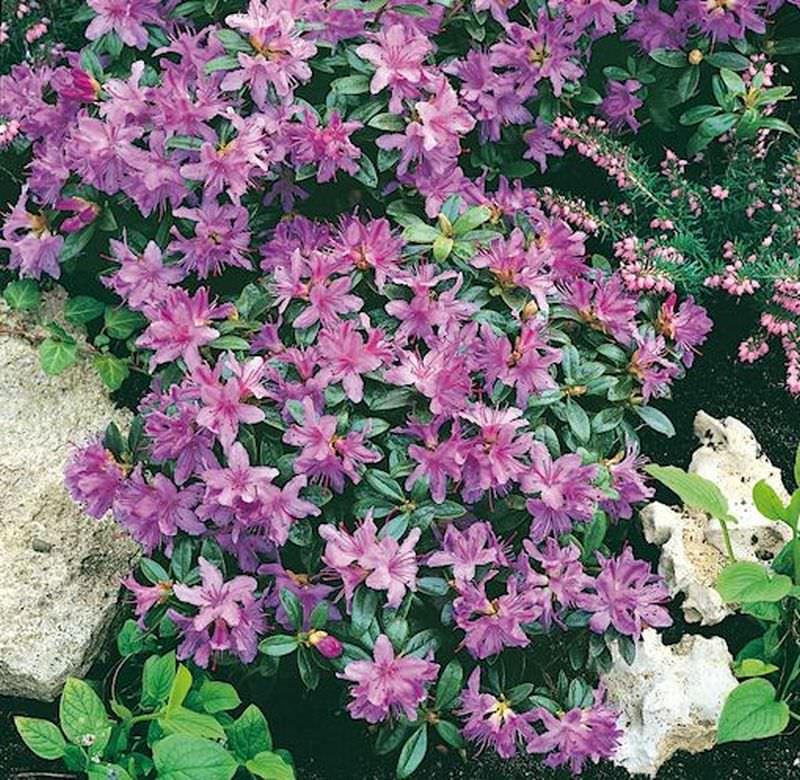 Zwerg Rhododendron Shamrock 15-20cm Zwerg Alpenrose