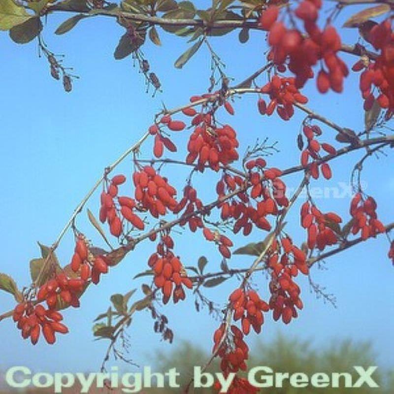 Gr/üne Heckenbeberitze 80-100cm Berberis thunbergii