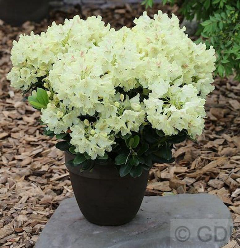 INKARHO - - - GroßBlaumige Rhododendron Goldinetta® 40-50cm - AlpenRosa 19c51e