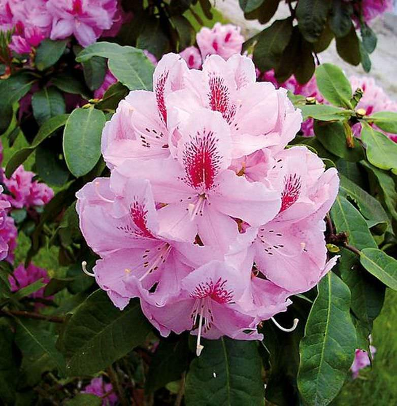INKARHO - GroßBlaumige Rhododendron Furnivall s Daughter 60-70cm - AlpenRosa
