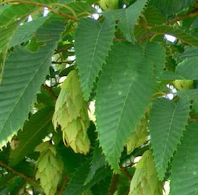 Japanische Hainbuche Hainbuche Hainbuche 80-100cm - Carpinus japonica b48eff