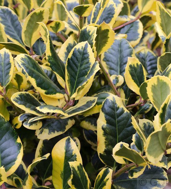 Gelbbunte Stechpalme Ilex Golden King 100 125cm Ilex Altaclerensis