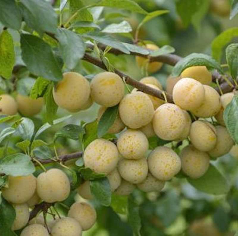 Hochstamm Hochstamm Hochstamm Mirabelle Bellamira 40-60cm - Prunus syriaca c64f5f