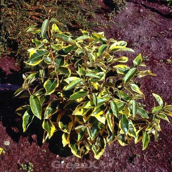 Wintergrüne Ölweide Ölweide Ölweide Gilt Edge 60-80cm - Elaeagnus ebbingei 9bd900