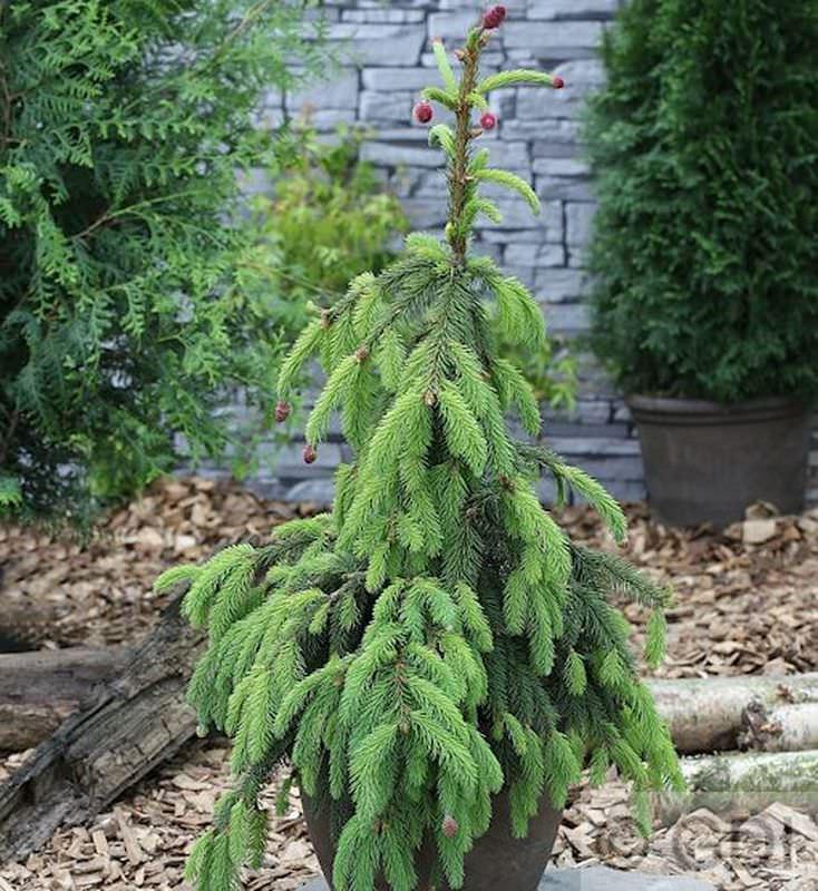 Zapfenfichte Acrocona 70-80cm - - - Picea abies 9feba3