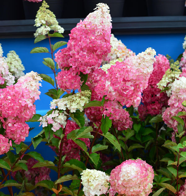 Rispenhortensie Fraise Melba 60-80cm Hydrangea paniculata