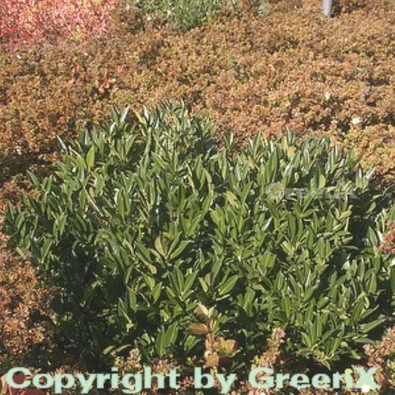 Breitwachsende Lorbeerkirsche Otto Luyken 60-80cm - Prunus Prunus Prunus laurocerasus 27f546