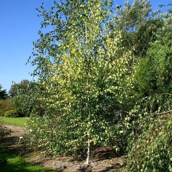Gelbblättrige Birke 100-125cm - - - Betula pendula 6ea090