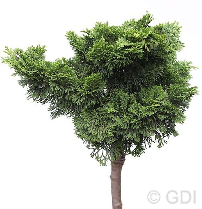 Hochstamm Hochstamm Hochstamm Muschelzypresse Nana Gracilis 40-60cm - Chamaecyparis obtusa 2304d6