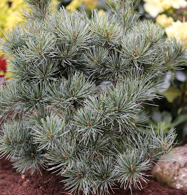 Japanische Zwergmädchenkiefer 60-70cm 60-70cm 60-70cm - Pinus parviflora f141e0