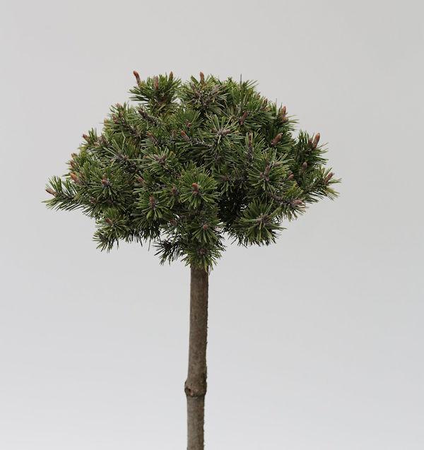 Hochstamm Krummholz Kiefer 40-60cm - Pinus mugo mughus