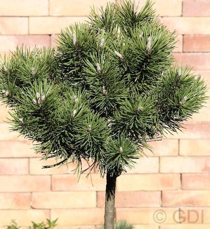 Pinus mugo Kugelkiefer Mops 25-30cm