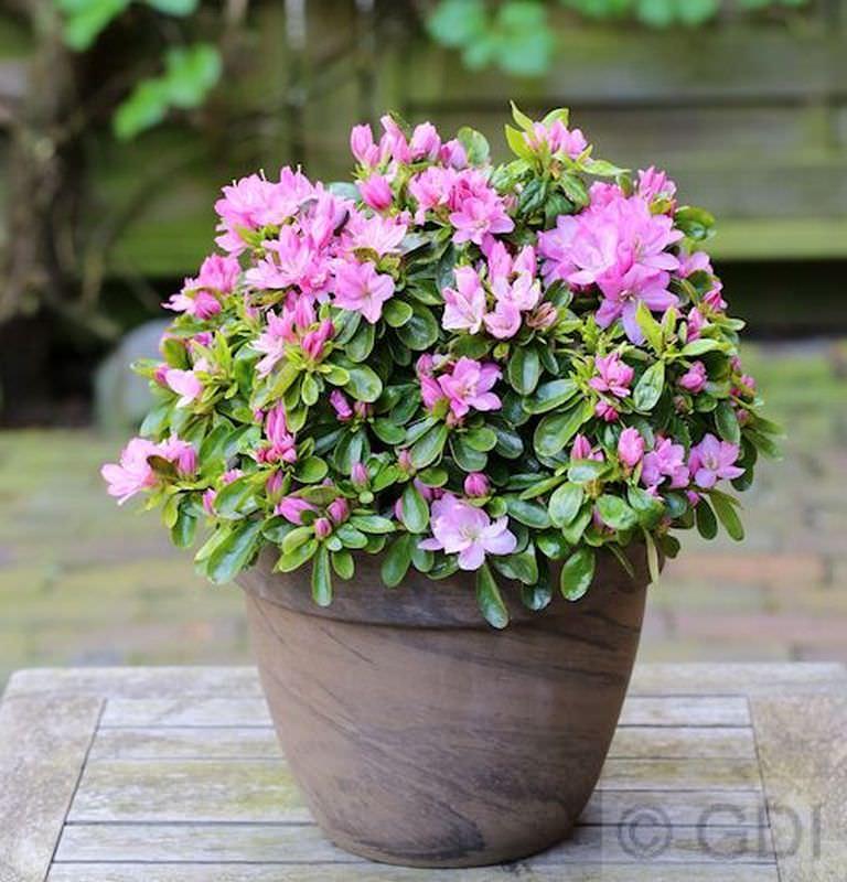 Rhododendron obtusum Japanische Azalee Schneeperle® 25-30cm Zwerg Alpenrose