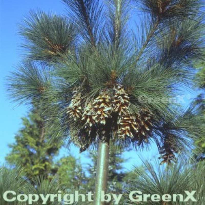 Schwerin Kiefer 40-60cm - Pinus schwerinii schwerinii schwerinii 46e92e