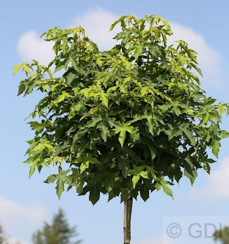 hochstamm kugel amberbaum gumball 100 125cm liquidambar styraciflua kaufen bei nr. Black Bedroom Furniture Sets. Home Design Ideas