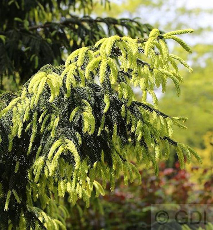 Kaukasus Fichte Aurea 80-100cm - Picea Picea Picea orientalis Aurea 9c026a