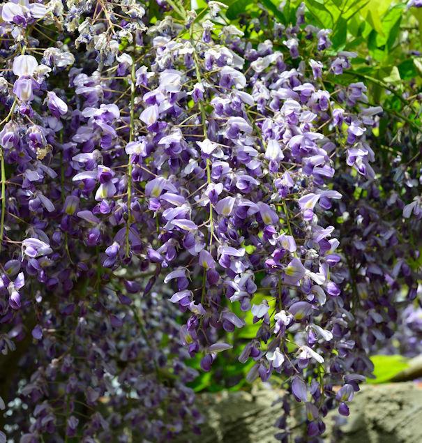 Japanischer Blauregen 1 Pflanze Wisteria floribunda Rosea ROSA