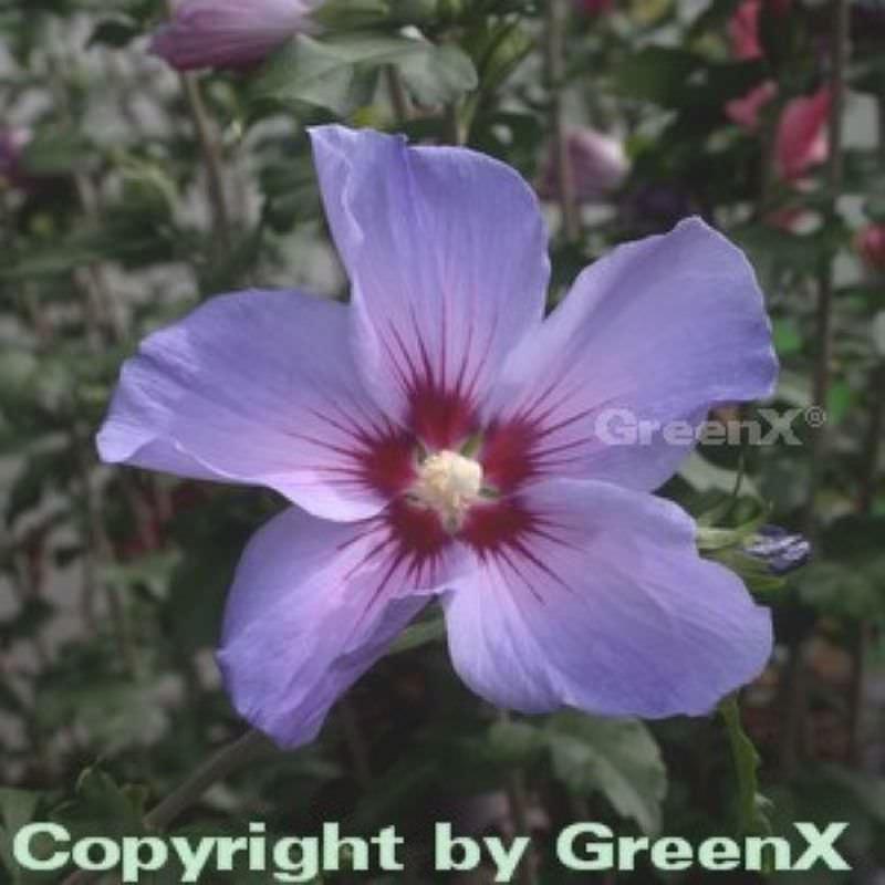 Rosen Eibisch Blue Bird 30 40cm Hibiscus Syriacus Kaufen Bei Nr