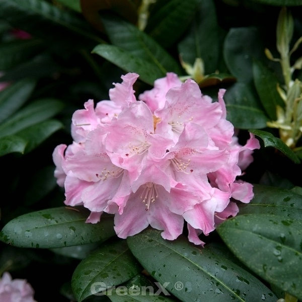 INKARHO - - - Rhododendron Frühlingsanfang 50-60cm - AlpenRosa b66d15
