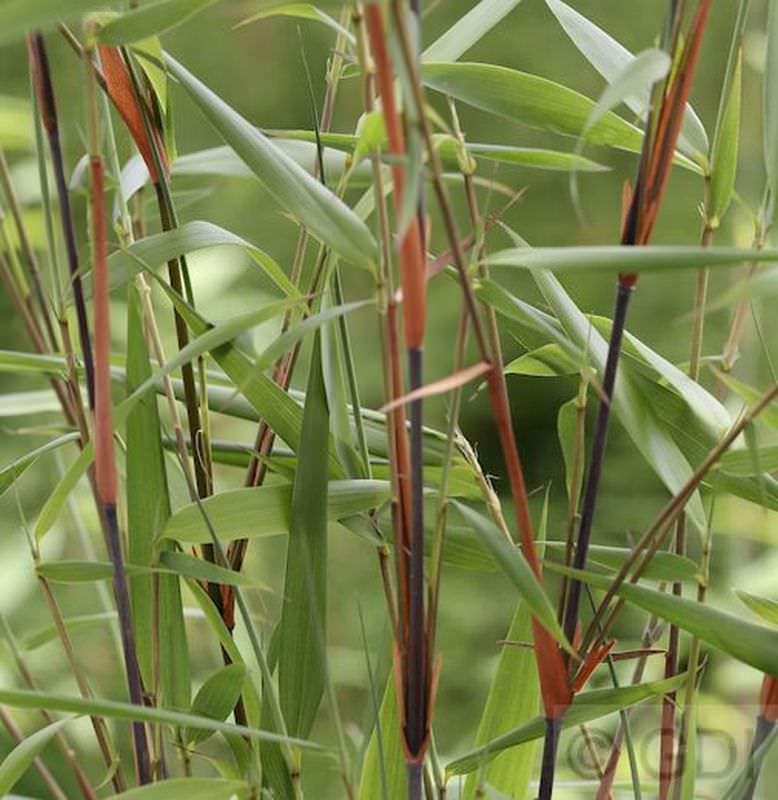 Bambus Fargesia Scabrida Xxxl Topf Fargesia Scabrida Kaufen