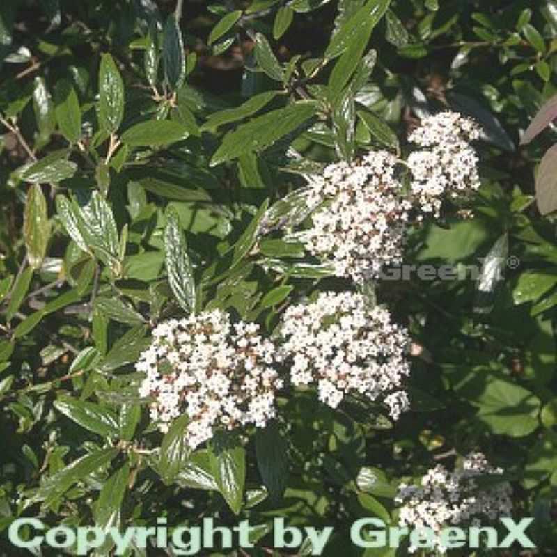 Prager Schneeball 80-100cm - Viburnum pragense