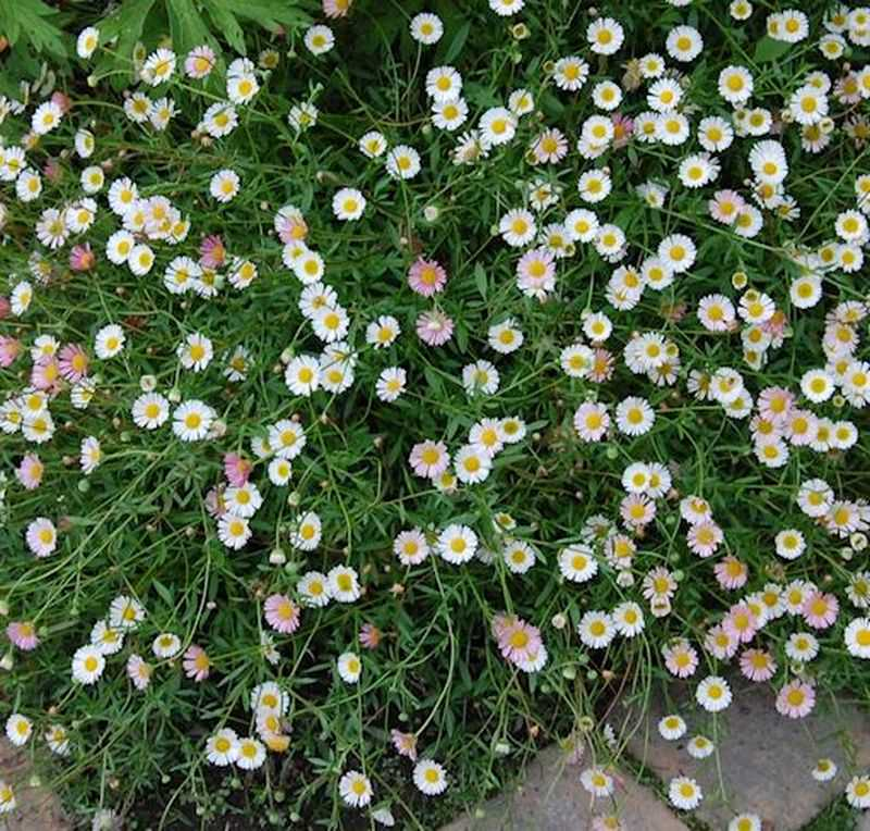Spanisches Ganseblumchen Erigeron Karvinskianus Kaufen Bei Nr 01 De